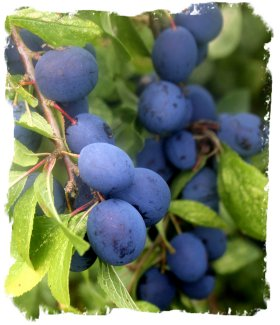 Damsons - ripe in late August