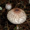 Giant mushroon, Muddypond uses this dried for fairy bowls for her eco enchantments business