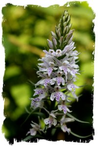 Common Spotted Orchid - Hurst Wood nr Charing, Kent, UK