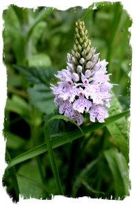 Hurst Wood, nr Charing, Kent, UK - Common Spotted Orchid in July