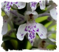 Common Spotted Orchid - fairy doll - close