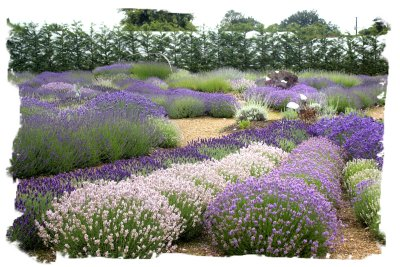 Lavender at Downderry Nursery, Kent