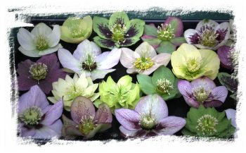 Hellebores at Broadview Gardens, Hadlow College, Kent  ©vcsinden2015