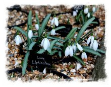 Spring Platt, Kent - snowdrop collection ©vcsinden2012
