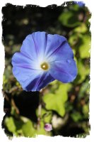 Morning Glory - deep sky blue - in Muddypond Green's herb patch