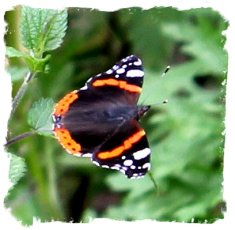 british butterflies - Red Admiral  ©vcsinden2011