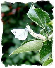 Small white on the apple tree