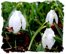 Snowdrops in the rain