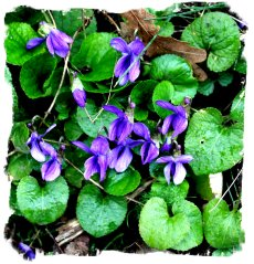 Hurst Wood, Charing, kent - violets on the bank in March