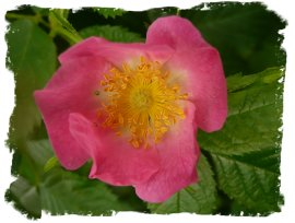 Wild rose - deepest pink